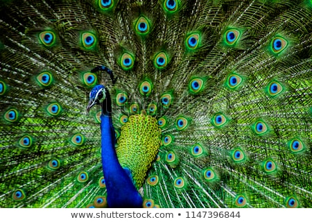 Blue Peacock Neck and Feathers Stock photo © billperry