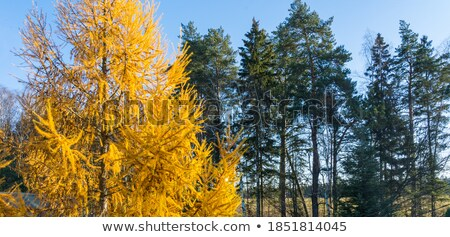 Yellow Larch tree landscape  Stock photo © aetb
