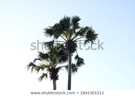 Palm trees in an Mediterranean orange tree field Stock photo © lunamarina