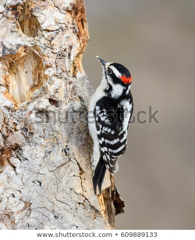 Downy Woodpecker on a Tree Stock photo © rhamm