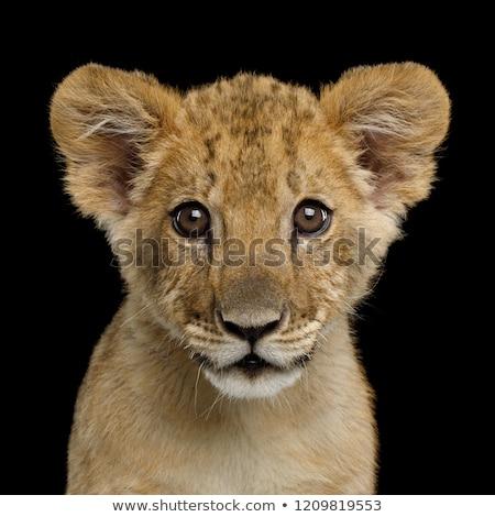 portrait of a lion cub stock photo © tanart