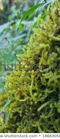 Növény moha közelkép kilátás zöld textúra Stock fotó © tainasohlman