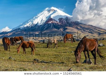 güney · amerika · alpaka · Ekvador · lama · volkan · gökyüzü - stok fotoğraf © pxhidalgo