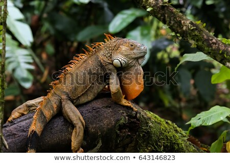 Yeşil iguana sürüngen egzotik hayvan Stok fotoğraf © sirylok