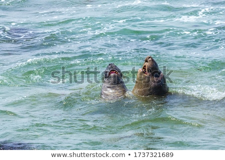 male Sealions fight in the ocean Stock photo © meinzahn