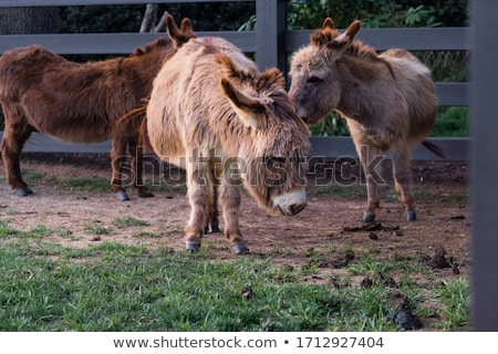 photo of a cute donkey on the farm stock photo © lizard