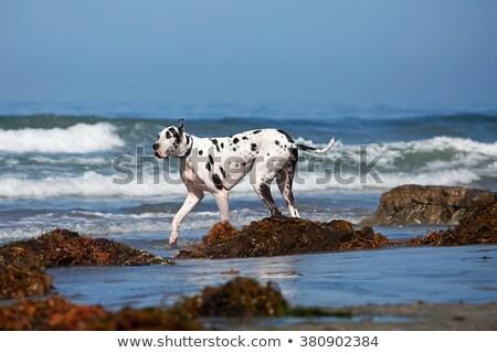 puppy · springen · lopen · jonge · beagle · strand - stockfoto © c-foto