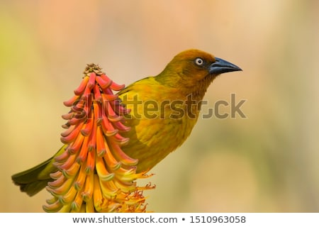 Cape Weaver (Ploceus capensis) Stock photo © dirkr