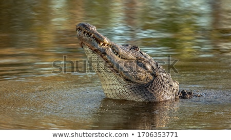 большой крокодила изолированный белый воды зубов Сток-фото © OleksandrO