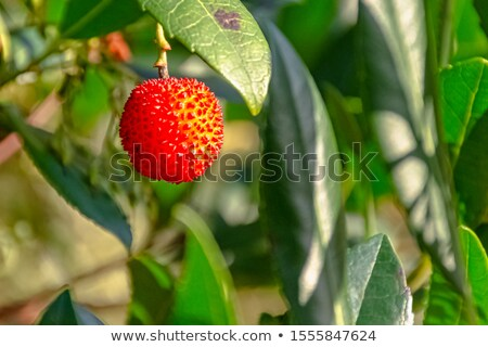 Strawberry tree,cane apple (Arbutus unedo)  Stock photo © digoarpi