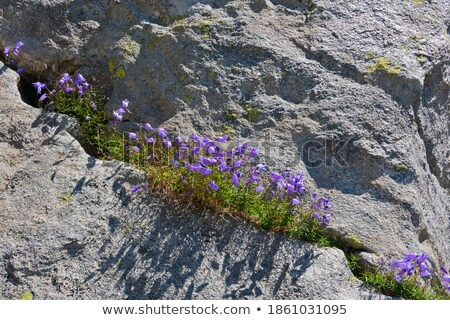campanula alpina stock photo © romvo