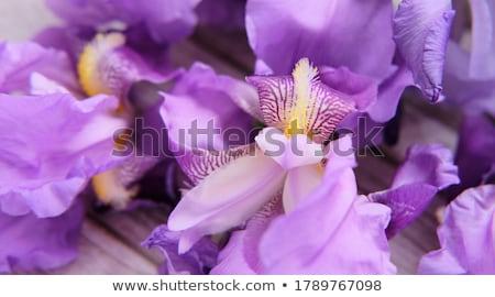 Lila írisz kert virágok szépség nyár Stock fotó © njnightsky