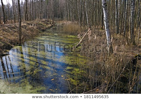 Grass on a small swampy area of the forest Stock photo © ironstealth