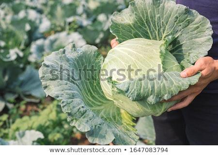 Сток-фото: капуста · продовольствие · таблице · голову · Салат · белый