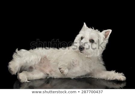 Stock photo: West Highland White Terrier lying in a black shiny studio floor
