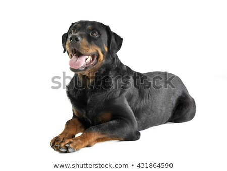Stock photo: Rottweiler lying and waching in a white background