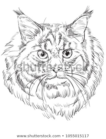 angry maine coon stock photo © cynoclub