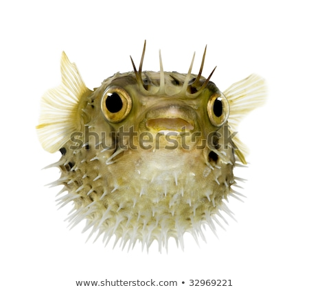 Stock photo: Puffer fish on white background