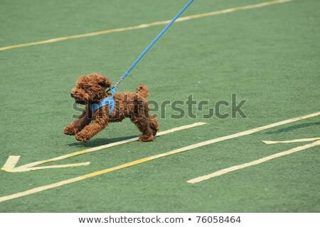 A toy poodle dog running on the ground Stock photo © raywoo
