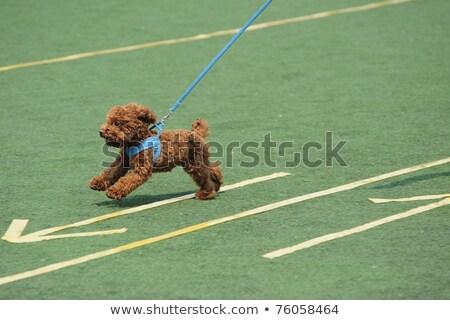 brinquedo · poodle · cão · corrida · pequeno · terreno - foto stock © raywoo