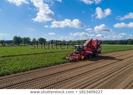 sugar beet harvest stock photo © stevanovicigor