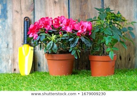 bonsai · mooie · Rood · boom · natuur · blad - stockfoto © oleksandro
