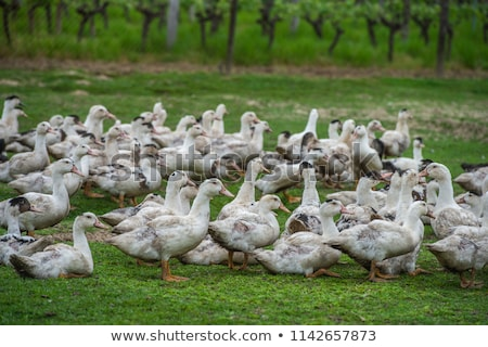 group of white ducks breeding in a near tall grass in farm stock photo © freeprod