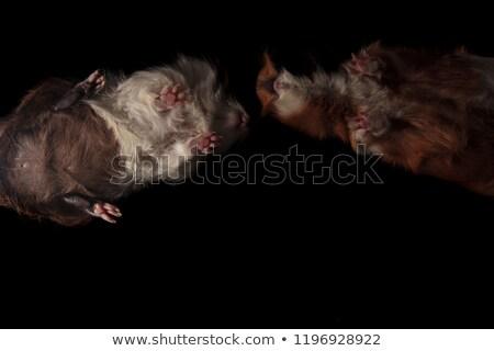 çok · güzel · siyah · kobay · beyaz · yüz · domuz - stok fotoğraf © feedough