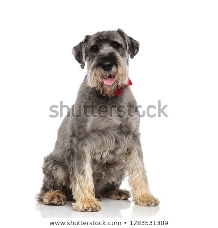furry schanuzer with red bowtie panting and sitting Stock photo © feedough