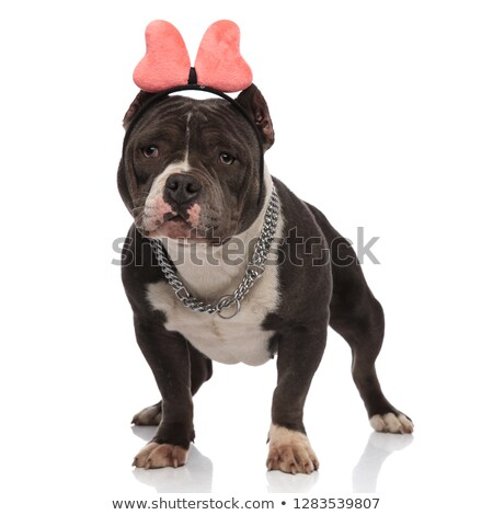 cute american bully wearing pink ribbon headband looks to side Stock photo © feedough