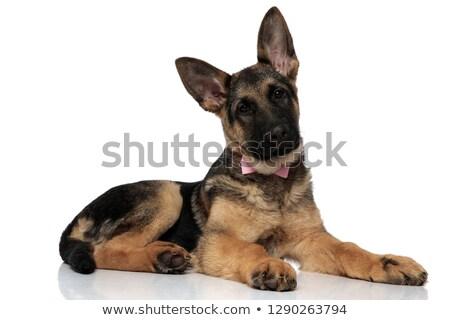 Beyefendi kurt köpek pembe yan Stok fotoğraf © feedough