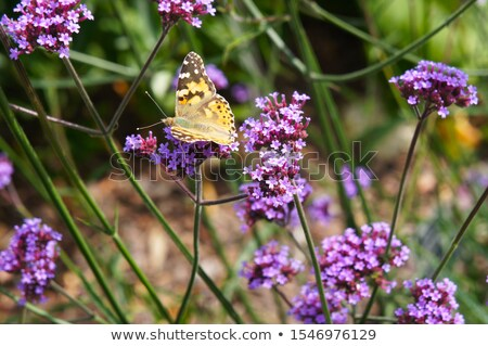 Verbena Bonariensis flower field Stock photo © Yongkiet