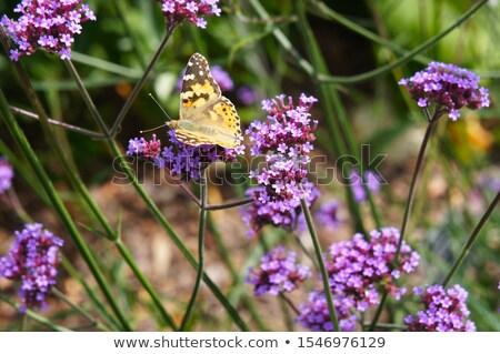 Verbena Bonariensis flower field Stock photo © Yongkiet