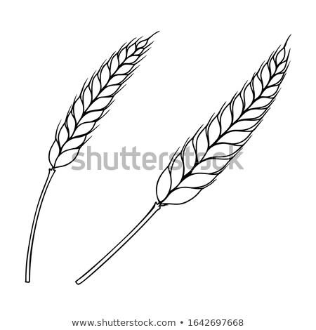 цвета эскиз уха пшеницы рисованной черный Сток-фото © netkov1
