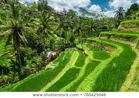 Zielone kaskada plantacja taras bali Zdjęcia stock © galitskaya