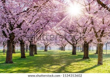 Ağaç pembe park çiçek Stok fotoğraf © rhamm