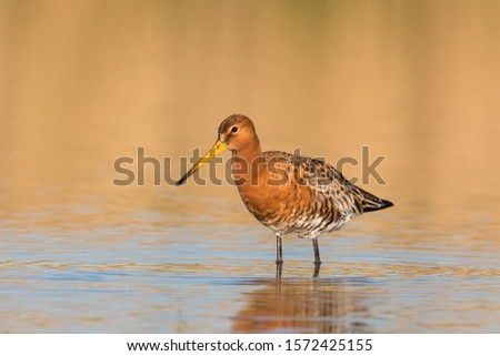 Black tailed Godwit Stock photo © ivonnewierink