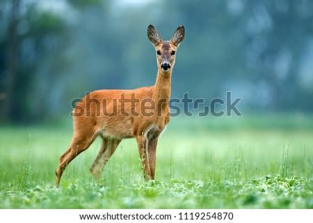 Female deer in nature Stock photo © ivonnewierink