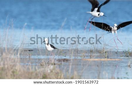 ストックフォト: 着陸 · 浅い · 池 · 鳥 · 徒歩