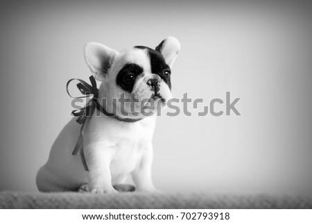 bulldog portrait in a white photo studio Stock photo © vauvau