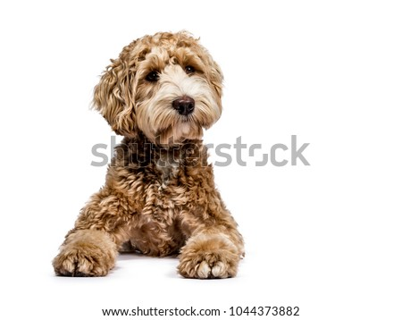 Head shot of Labradoodle on white Stock photo © CatchyImages