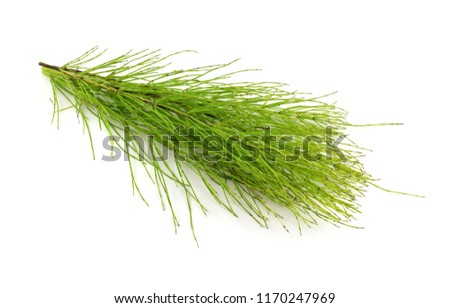 equisetum arvense stock photo © yoshiyayo