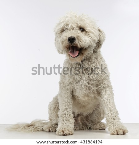 Stock photo: Puppy white Puli in the photo studio