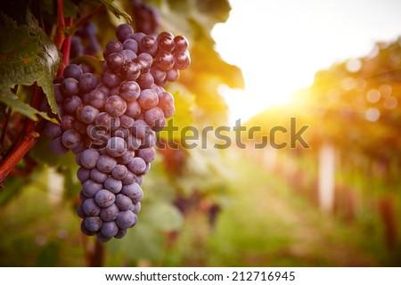 Grapes on the vine Stock photo © Zerbor