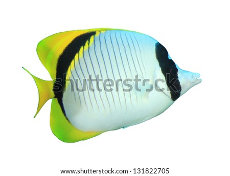 Lined Butterflyfish Stock photo © derocz