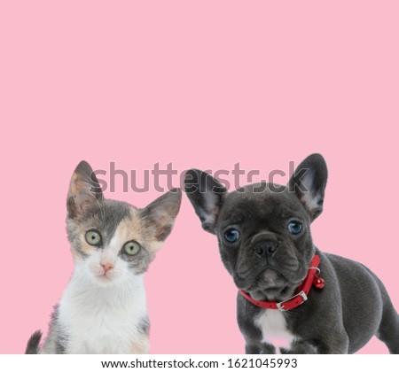 adorable metis cat wearing pink collar sitting Stock photo © feedough