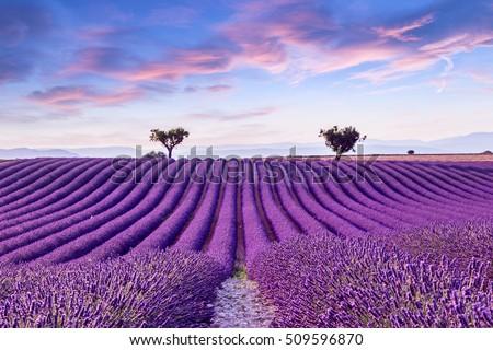 Lavender field harvest near Valensole Stock photo © Fesus