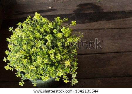 Lemon thyme in pot Stock photo © cynoclub