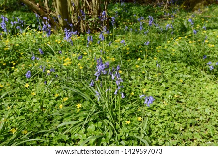 spring flowers   bluebells and celandines in woodland stock photo © sarahdoow