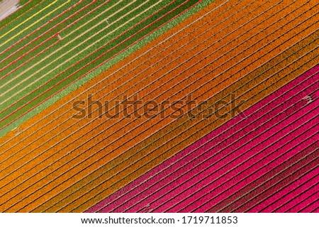 Colorido tulipas campo flores primavera baixo Foto stock © keko64